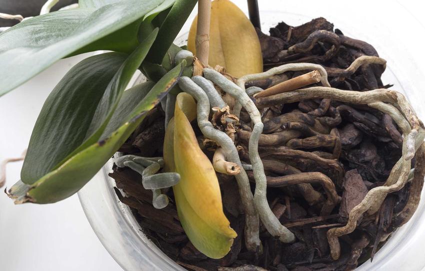 Przelany storczyk z żółtymi liśćmi przy ziemi, a także informacje, jak uratować uschnięty lub przelany storczyk krok po kroku