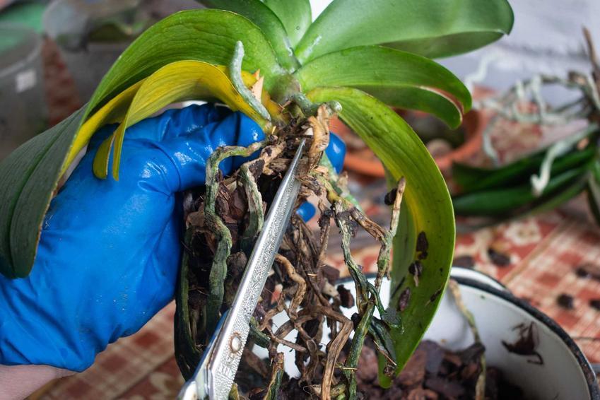 Obcinanie korzeni przelanego storczyka, a także ususzony lub przelany storczyk i jego reanimacja