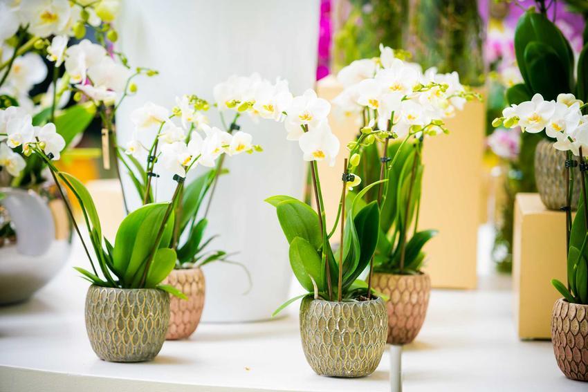 Storczyki stojące na półce w kwiaciarni, a także informacje, ile kosztują storczyki, ceny storczyków w sklepach