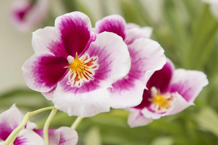 Storczyk Miltonia o biało-różowych kwiatach, a także pielęgnacja, podlewanie, kwitnienie i uprawa storczyka Miltonia krok po kroku