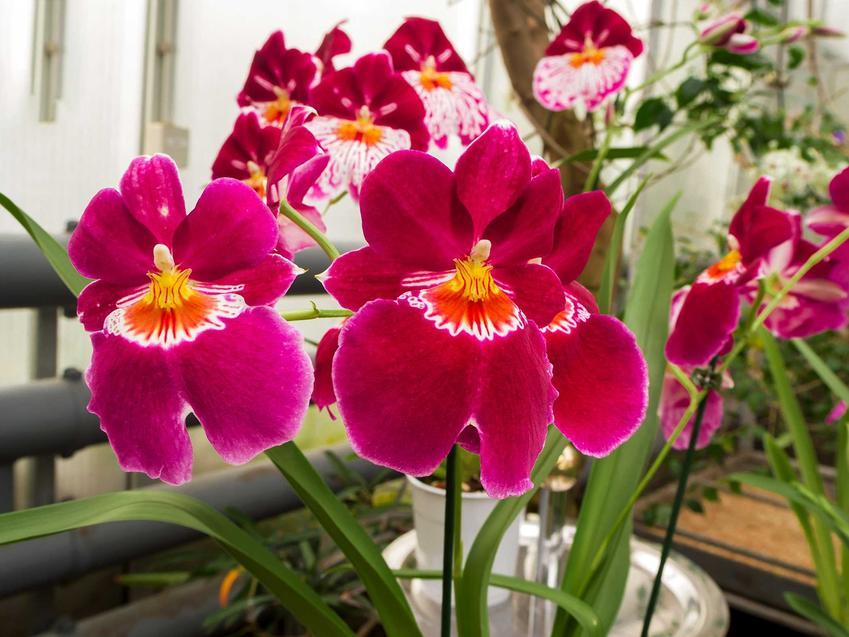 Storczyk Miltonia o ciemnoróżowych kwiatach z białym oczkiem w doniczce, a także pielęgnacja, uprawa, kwitnienie i sadzenie storczyków Miltonia