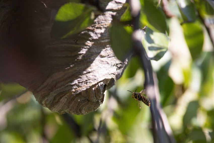 Gniazdo os na drzewie owocowym, a także inormacje, jak zlikwidować bezpiecznie gniazdo os krok po kroku, najlepsze i najbardziej skuteczne sposoby