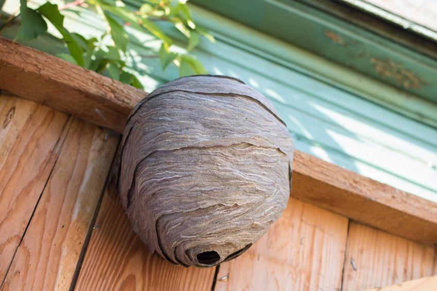 Gniazdo os pod dachem w domu, a także informacje, jak zlikwidować gniazdo os, sposoby i porady