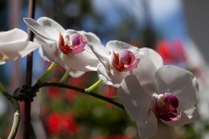 Biały storczyk z różowym środkiem krok po kroku, a także opis, odmiany, zastosowanie, sadzenie oraz najlepsze ceny
