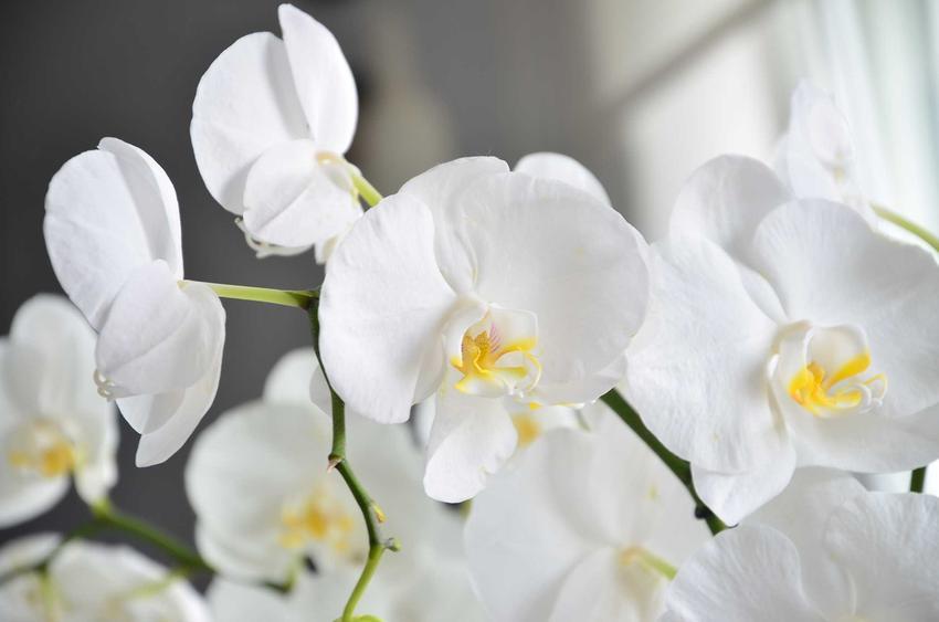 Biały storczyk Phalenopsis w czasie kwienia, a także opis, odmiany, ceny w sklepach i marketach