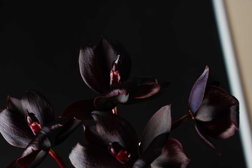 Czarny storczyk na tle czarnej ściany krok po kroku, czyli odmiany, sadzenie, rodzaje, pielęgnacja i uprawa storczyków