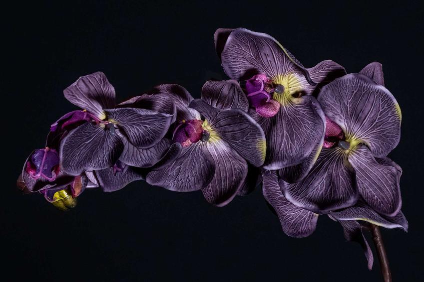 Ciemnofioletowy, prawie czarny storczyk na tle czarnej ściany, a także rodzaje, odmiany, gatunki i pielęgnacja czarnego storczyka