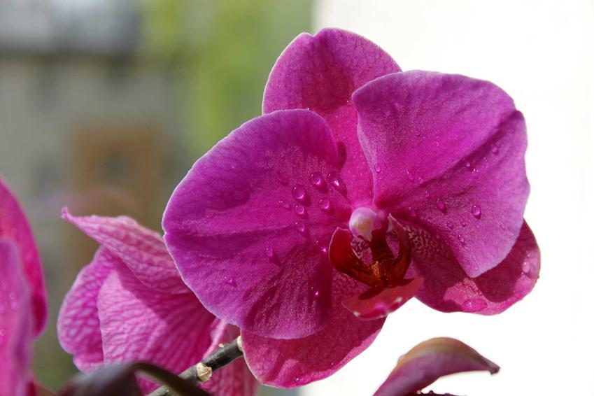Storczyk Phalenopsis o fioletowych kwiatach, a także nasiona starczyka, wybór nasion, zakup, siew