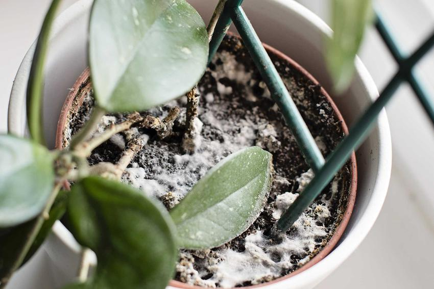 Pleśń w donicce z kwiatkiem o zielonych liściach, a także przyczyny i skutki, zapobieganie, zwalczanie i porady