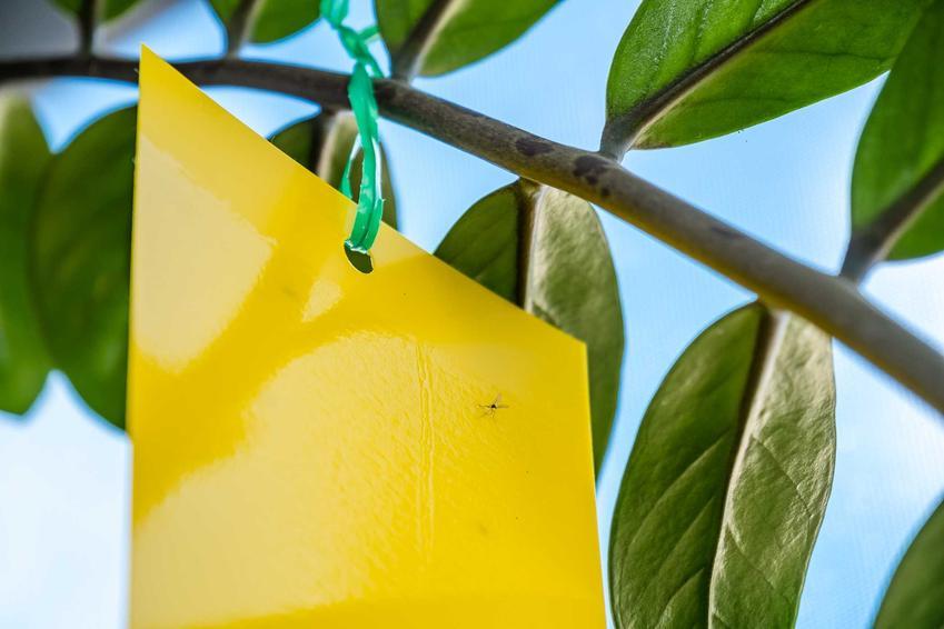 Lep na muchy powieszony na gałęzi zamiokulkasa, a także rodzaje, ceny, skuteczność oraz opinie o lepach na muchy