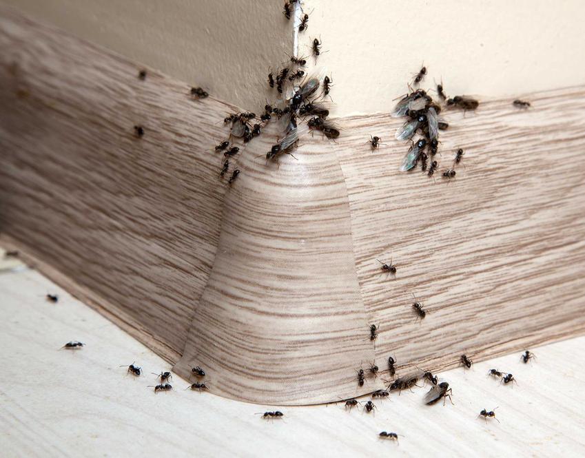 Mrówki chodzące po listwie podłogowej, a także informacje, co na mrówki w domu, skuteczne domowe sposoby, opryski i preparaty