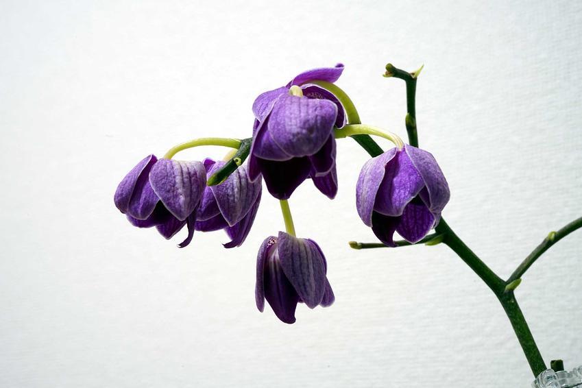 Przekwitnięty storczyk o fioletowych kwiatach, czyli jak dbać o storczyki, pielęgnacja, przycinanie, postępowanie