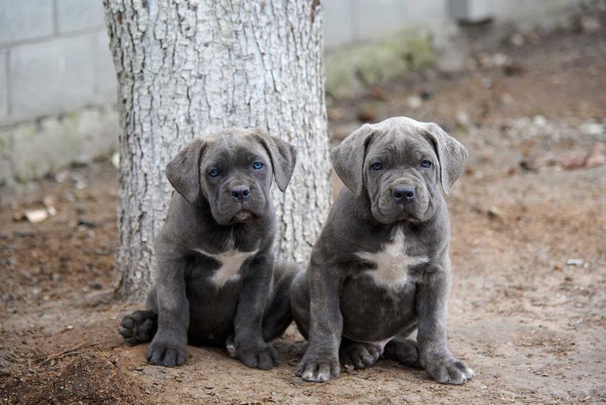 Szczenięta psa rasy Cane Corso, a także ich ceny, czyli ile kosztuje rasowy szczeniak Cane Corso z hodowli