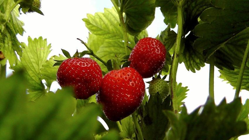 Szara pleśń na truskawkach - jak zwalczyć ją bez użycia chemii?