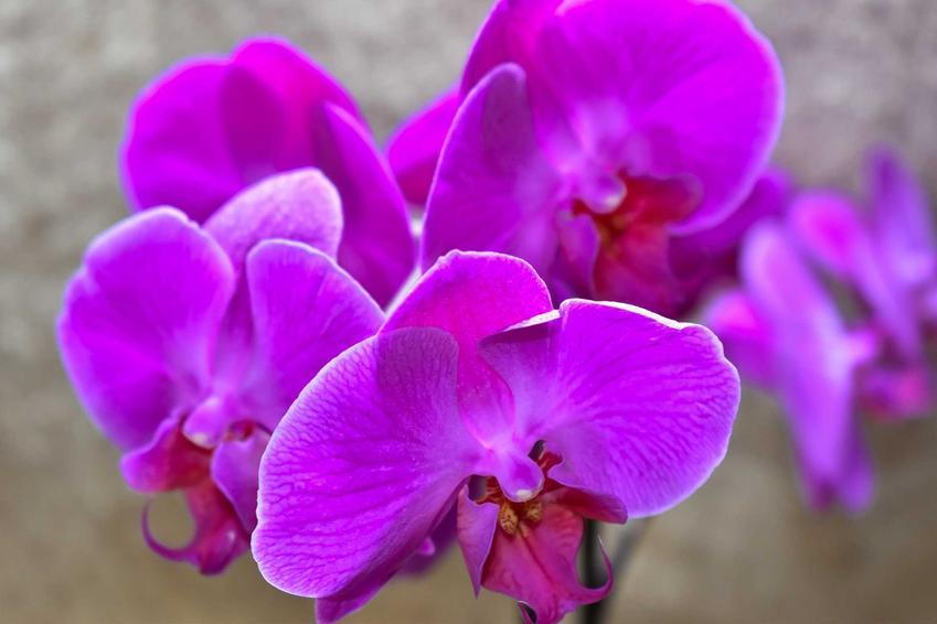 Storczyk o fioletowych kwiatach, a także jak rozmnażać storczyki krok po kroku, czyli rozmnażanie storczyków w doniczkach