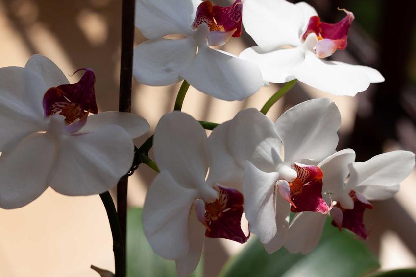 Białe storczyki Phalenopsis, czyli popularny kwiat orchidea, a także odmiany, gatunki, pielęgnacja oraz uprawa i podłoże