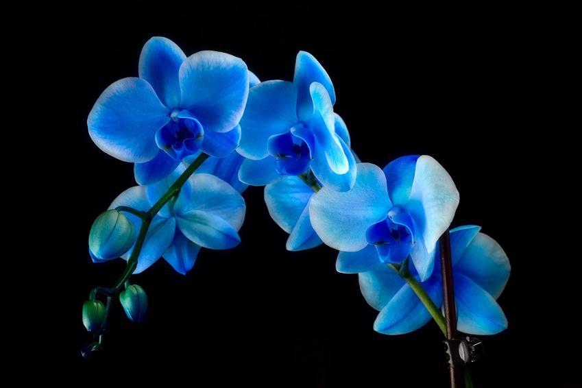 Niebieski storczyk na czarnym tle, a także opis rośliny, uprawa, pielęgnacja, sadzenie, odmiany, gatunki i podlewanie