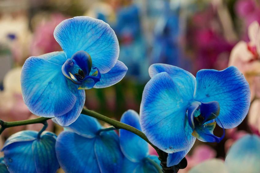 Niebieski storczyk na tle kolorowych kwiatów, a także opis, gatunki, odmiany, uprawa oraz pielęgnacja