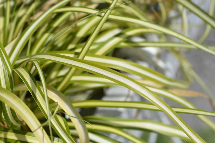 Jasnozielone liście odmiany turzycy japońskiej, a także turzyca japońska krok po kroku - odmiany, wymagania, sadzenie oraz pielęgnacja