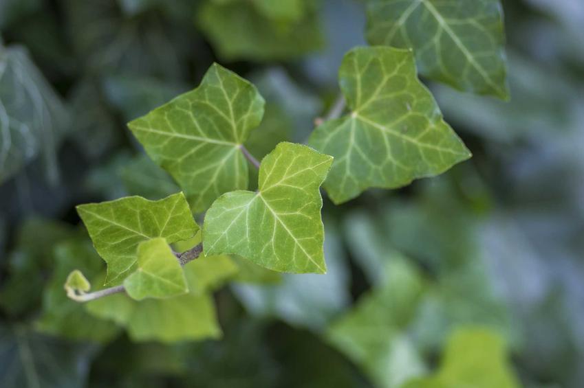 Zielone liście bluszczu pospolitego w ogrodzie, a także uprawa, pielęgnacja, zastosowanie, sadzenie oraz podlewanie