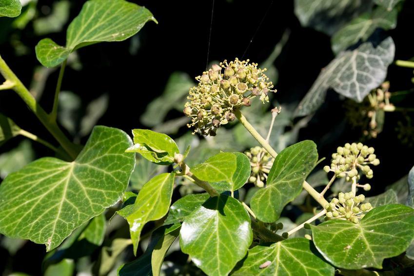 Jasnozielone liście bluszczu hedera i owocostany, a także wymagania, sadzenie, pielęgnacja w ogrodzie bluszczu