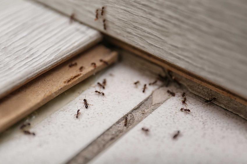 Mrówki chodzące po płytkach w domu, a także TOP 4 najlepsze sposoby na mrówki w domu, domowe sposoby na mrówki i insekty
