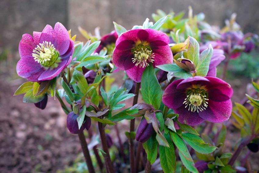 Ciemiernik o fioletowych kwiatach, a także gatunki i odmiany ciemiernika, stanowisko w ogrodzie, uprawa i pielęgnacja krok po kroku