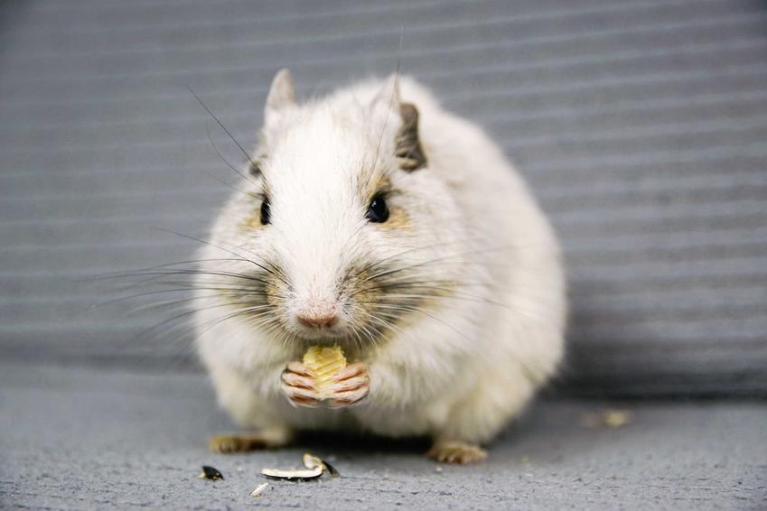 Biała koszatniczka jedząca ziarno, a także ile kosztuje młoda koszatniczka - cena koszatniczki w sklepie zoologicznym