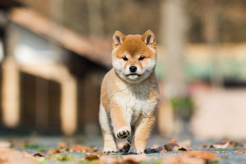 Szczenię psa rasy Shiba Inu, a także ile kosztuje szczeniach Shiba Inu - cena i koszt krok po kroku