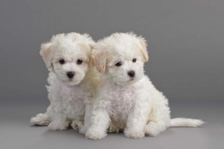 Szczenięta psa rasy bichon frise o białej sierści, a także cena bichon frise i koszt szczeniąt z hodowli