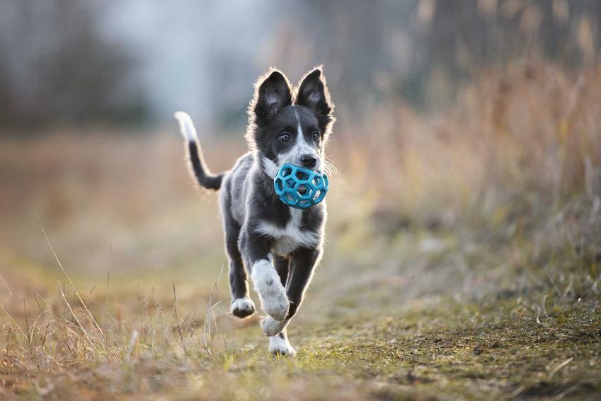 Szczenię psa border collie z piłką w pyszczku na spacerze, a także cena border collie i ile kosztuje młody pies