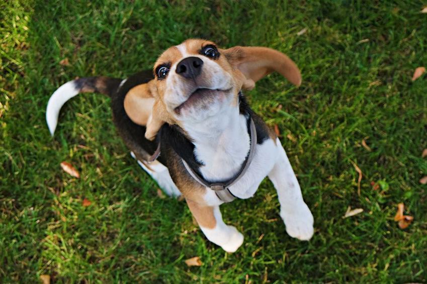 Podskakujący szczęśliwy pies beagle na tle trawy, a także cena szczeniaka beagle z hodowli oraz ile kosztuje beagle