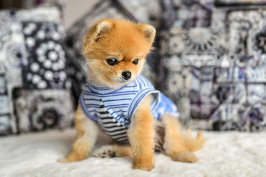 Pies Boo, czyli szpic miniaturowy lub pomeranian miniaturowy, a także ile kosztuje szczeniak psa Boo z hodowli