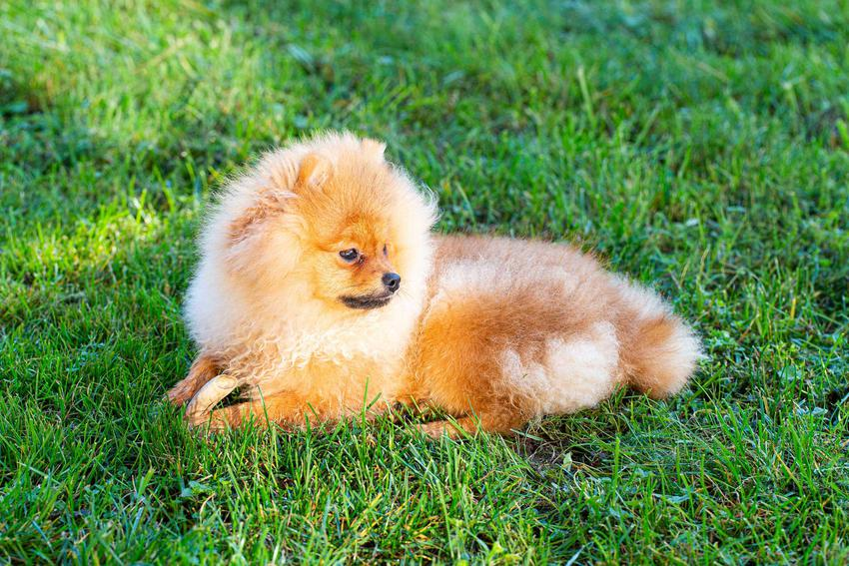 Szpic miniaturowy leżący na trawie, a także cena szpica miniaturowego (pomeranian miniaturowy) i ile kosztują szczeniaki