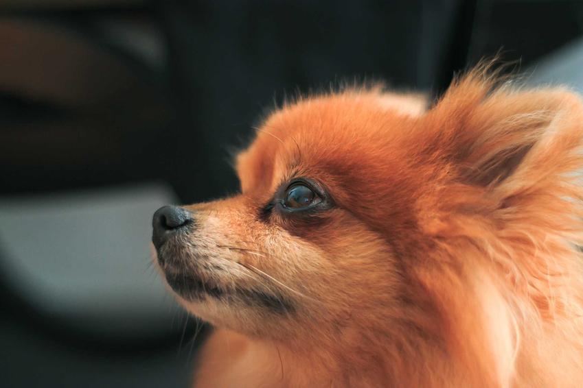 Szpic miniaturowy o brązowej sierści, a także cena szpica miniaturowego (pomeranian) oraz ile kosztują szczeniaki szpica