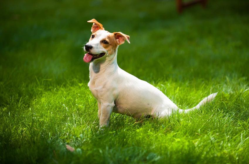 Jack Russel Terrier siedzący w trawie, a także cena Jack Russel Terriera oraz ile kosztują szczenięta tej rasy
