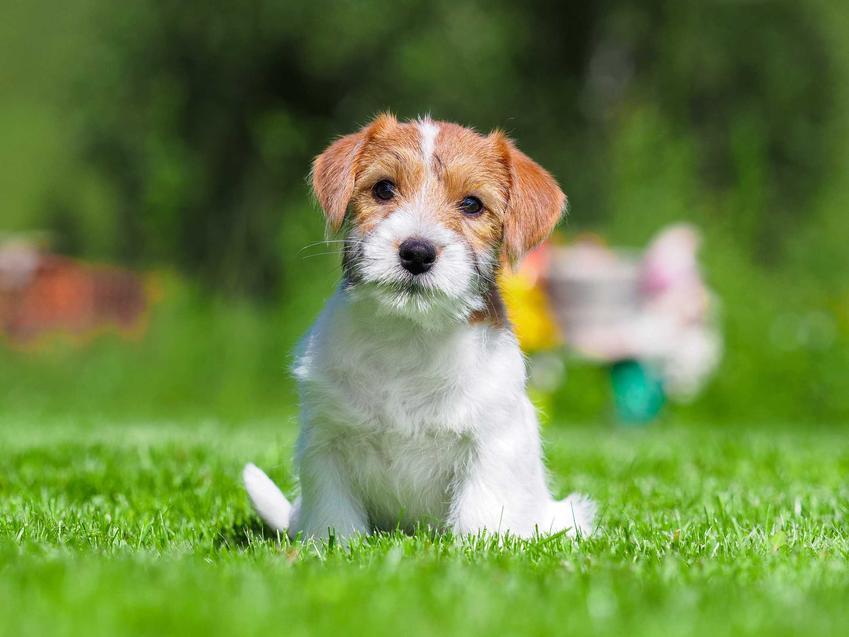 Szczenię psa rasy Jack Russel Terrier, a także ile kosztuje pies tej rasy - cena Jack Russel Terriera z hodowli