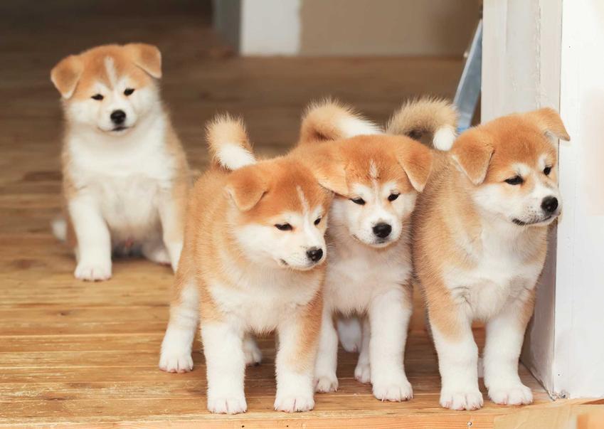 Cztery szczenięta psa rasy Akita Inu, a także cena Akita Inu - ile kosztują szczenięta rasy z zarejestrowanej hodowli