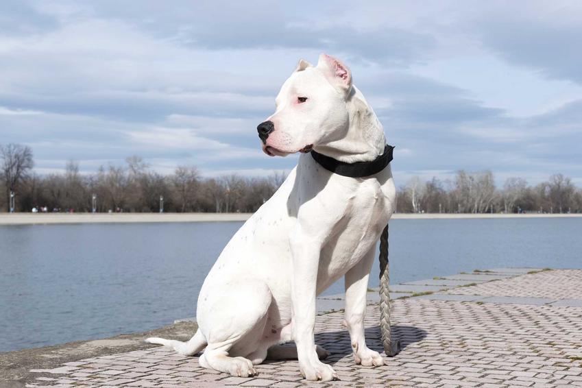 Dog argentyński siedzący nad zbiornikiem wodnym, a także cena doga argentyńskiego, czyli ile kosztuje pies rasy dog argentyński