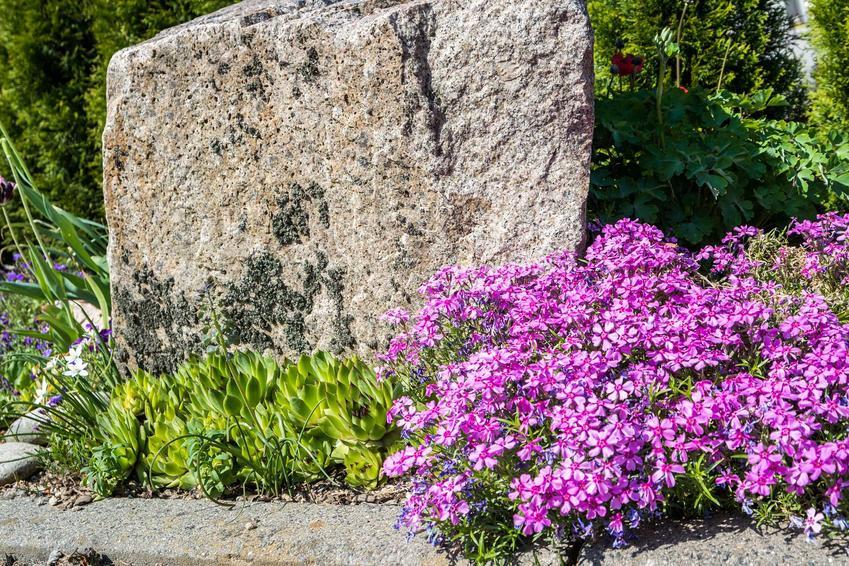 Fioletowe goździki rosnące na skalniaku, a także TOP 10 najpiękniejszych roślin na skalniak