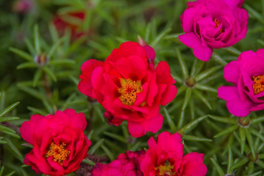 Portulaka wielkokwiatowa o czerwonych i różowych kwiatach, a także 10 bylin na skalniak o pięknych kwiatach