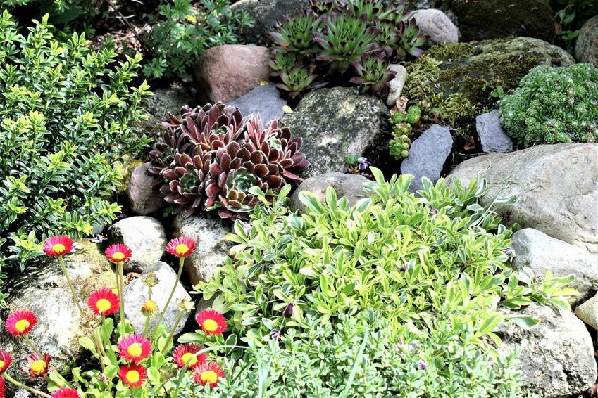 Ciekawe rośliny na skalniaku, a także 10 innych ciekawych roślin na skalniak krok po kroku