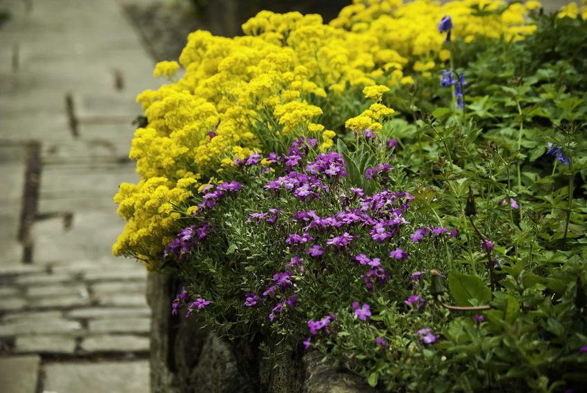 Żółta smagliczka górska rosnąca w ogrodzie skalnym, a także 10 pięknych bylin do ogrodu skalnego