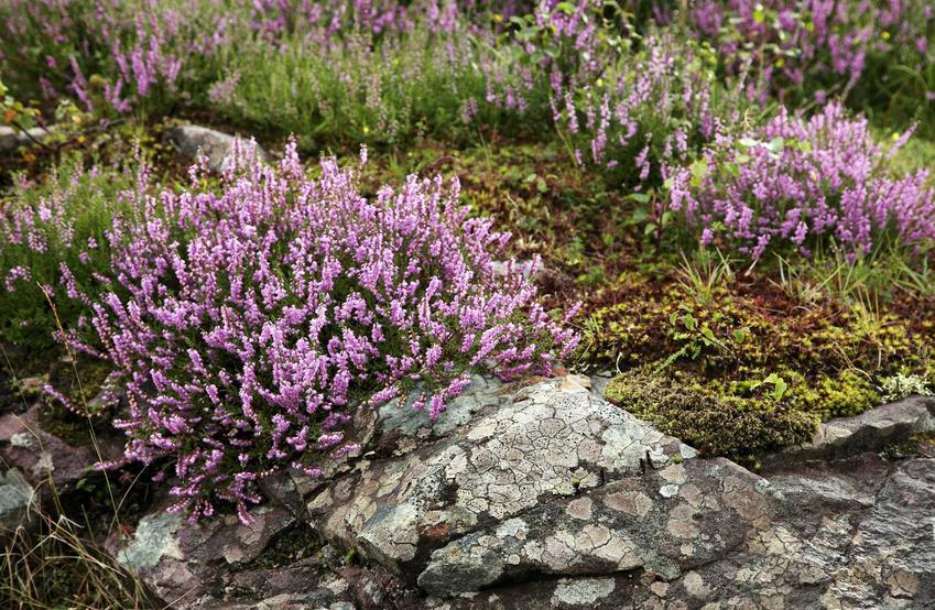 Wrzosy o fioletowych kwiatach na skalniaku, a także 10 ciakwych gatunków i pięknych bylin na skalniak