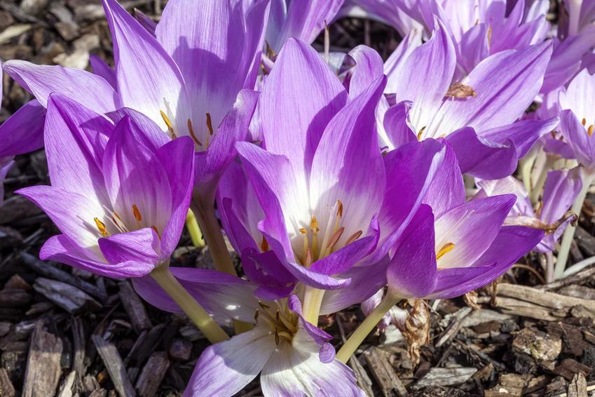Ziemowit na skalniaku o fioletowych kwiatach, a także ciekawe gatunki bylin idealnych do ogrodu skalnego