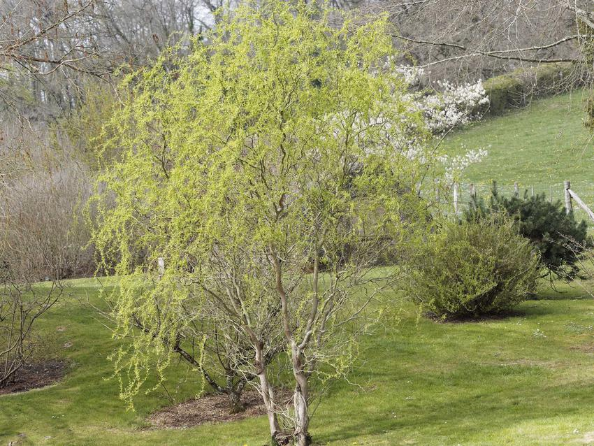 Niewysoka wierzba mandżurska w ogrodzie, a także uprawa, pielęgnacja, rozmnażanie oraz wymagania w ogrodzie