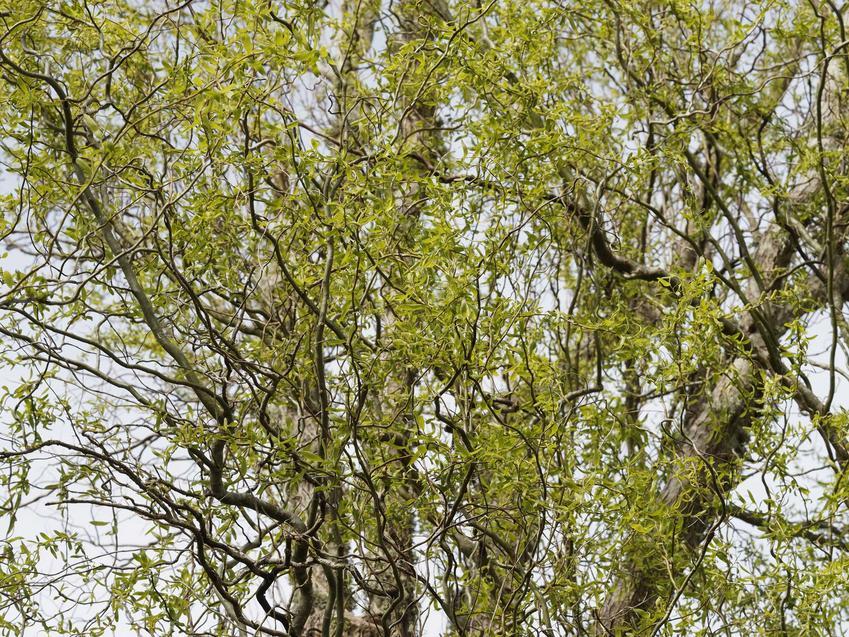 Zielone listki wierzby mandżurskiej w ogrodzie, a także uprawa, pielęgnacja oraz odmiany i gatunku