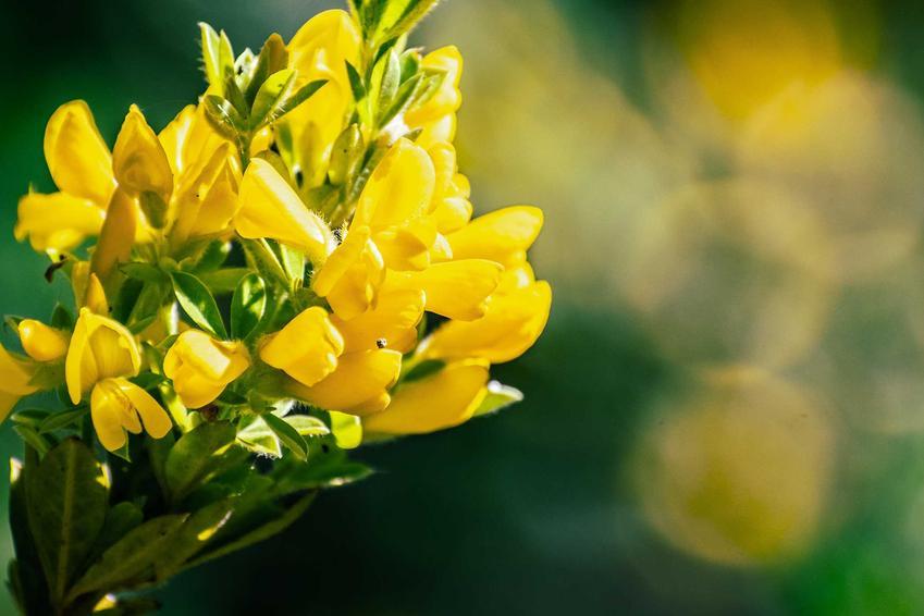 Kwiaty żarnowca miotlastego w ogrodzie, a także odmiany, pielęgnacja i uprawa oraz wymagania krok po kroku