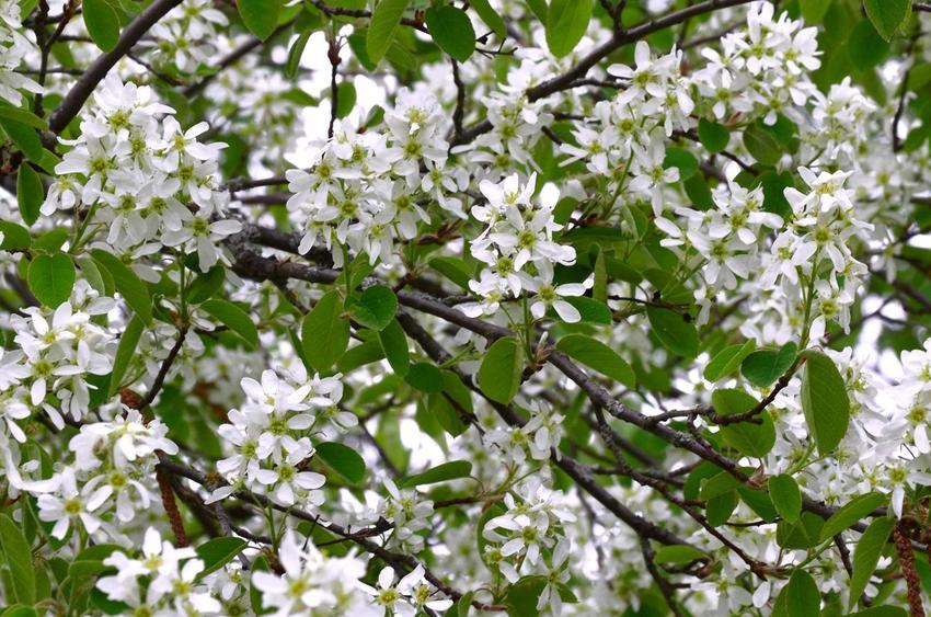 Krzew ozdobny irga w czasie kwitnienia, a także odmiany rośliny, wymagania, pielęgnacja i uprawa