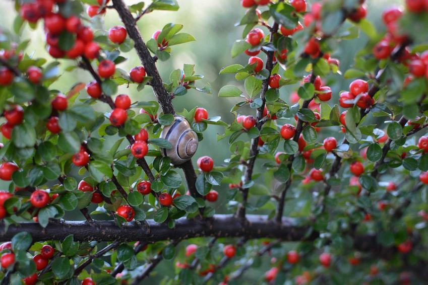 Krzew ozdobny irga z czerwonymi owocami na gałązkach, a także odmiany rośliny, gatunki, wymagania, uprawa oraz pielęgnacja
